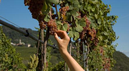 Weisswein Traube aus Südtirol