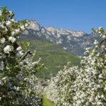 Apfelbluete-Suedtiroler-Unterland-02