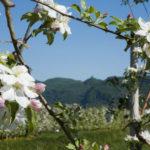 Apfelbluete-Suedtiroler-Unterland-03