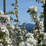 Apfelbluete-Suedtiroler-Unterland-04