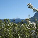 Apfelbluete-Suedtiroler-Unterland-05