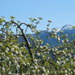 Apfelbluete-Suedtiroler-Unterland-07