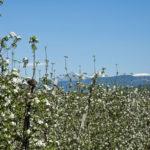 Apfelbluete-Suedtiroler-Unterland-08