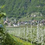 Apfelbluete-Suedtiroler-Unterland-09