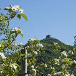 Apfelbluete-Suedtiroler-Unterland-11