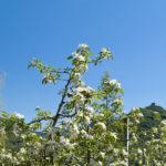 Apfelbluete-Suedtiroler-Unterland-15