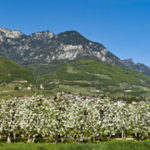 Apfelbluete-Suedtiroler-Unterland-21
