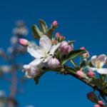 Apfelbluete-Eppan-04