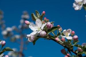 Apfelblüte in Eppan