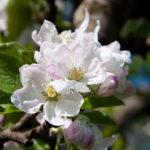 Apfelbluete-Eppan-06