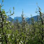 Schlern-Apfelbluete-01
