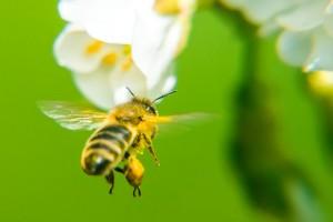 Honigbiene mit vollem Gepäck