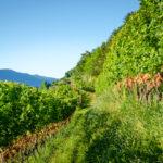 Gewürztraminer Weinberg in Tramin/Südtirol