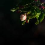 Frostschutzberegnung Blüte