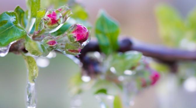 Apfelblüte und Frostschutzberegnung in Südtirol