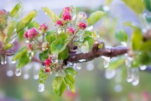 Frostberegnung: eingeeiste Blüte